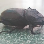 Thai Bugs – Rhinoceros Beetle
