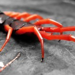 Thailand's Monster Poisonous Centipede