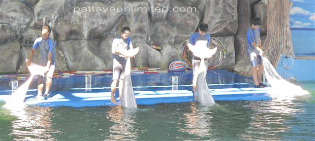 dolphin tricks at the Pattaya dolphin show in Thailand