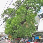 Thailand's Sacred Fig Tree