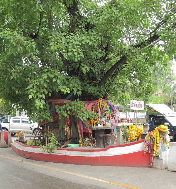 The Sacred Fig tree in Naklua, Pattaya Thailand